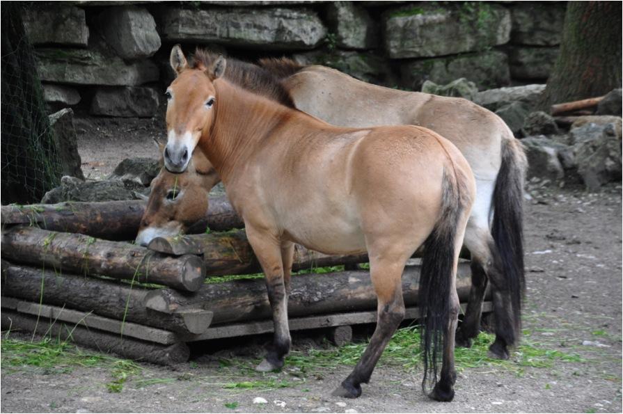 """Przewalski-Pferd mit erkennbaren Beinstreifen, Schulterkreuz und Aalstrich im Zoo Salzburg. Die Arbeit der Zoos hat verhindert, dass sie ausstarben. Foto: """"Przewalski striping"""" von DFoidl - Lizenziert unter CC BY-SA 3.0"""