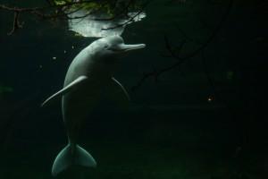 "Flussdelfin ""Baby"" lebt in hohem Alter in Duisburgs Rio Negro. | Foto: zoos.media"