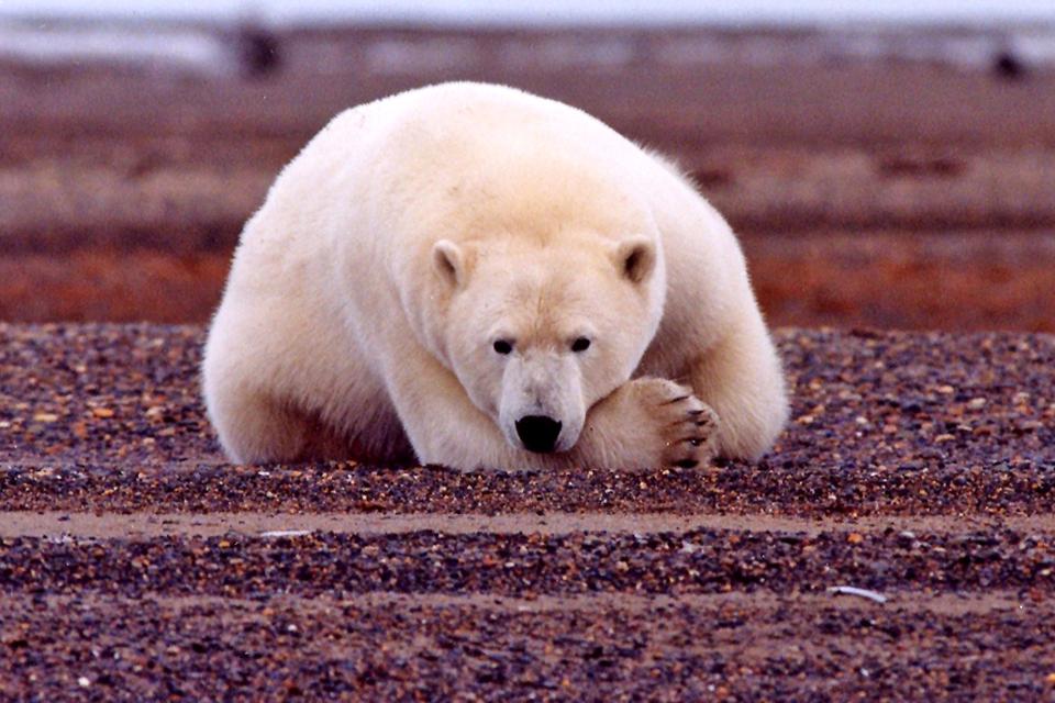 Eisbär im Arctic National Wildlife Refuge | Foto: Susanne Miller/USFWS, Lizenz: CC BY 2.0