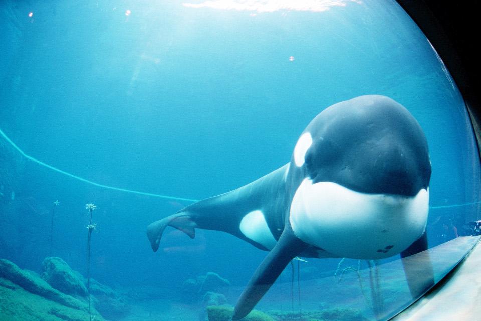 Der Orca Keiko bezahlte das Scheitern des Auswilderungsversuchs mit seinem Leben.
