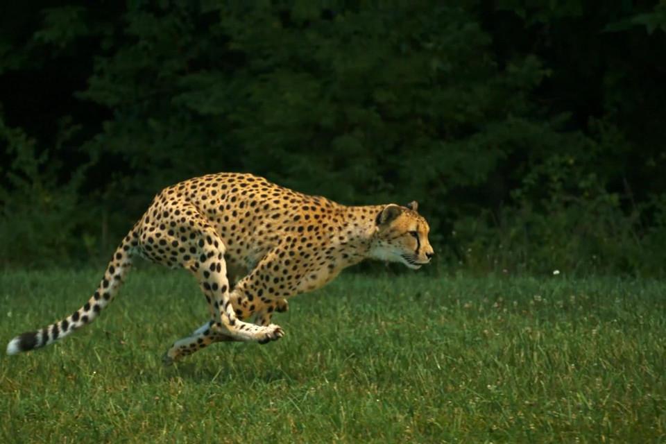 Gepardin Sarah rennt im Cincinnati Zoo and Botanical Garden