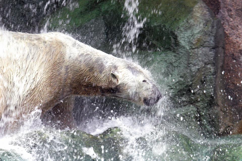 Eisbär im Wasserfall auf der Anlage des Cincinnati Zoo