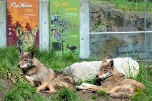 Rotwölfe vor Infotafeln im Defiance Zoo & Aquarium