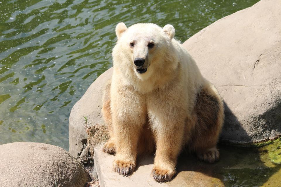 Hybridbärin Tips, die im Frühjahr aus dem Gehege im Zoo Osnabrück entwich und aufgrund von Lebensgefahr für Mitarbeiter und Besucher leider erschossen werden musste, soll weiterhin wichtige Erkenntnisse für Wissenschaft und Forschung liefern.